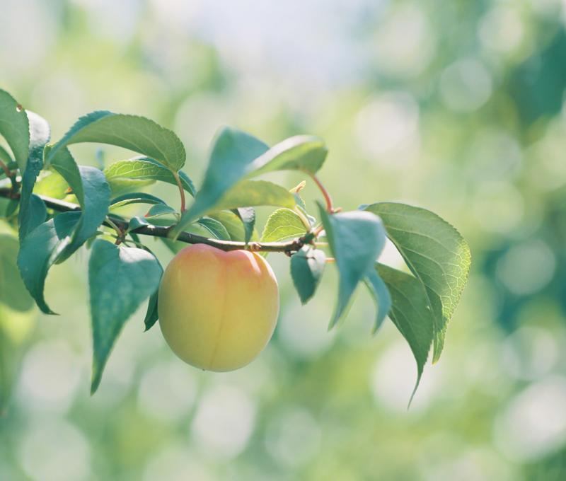 Kimino Ume Frucht