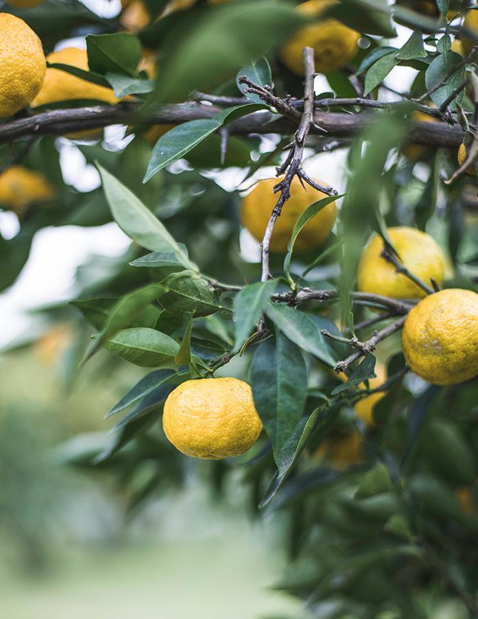 Kimino Yuzu Frucht